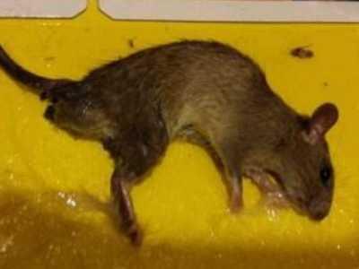 家里养鼠影响风水吗 家里有老鼠是什么预兆